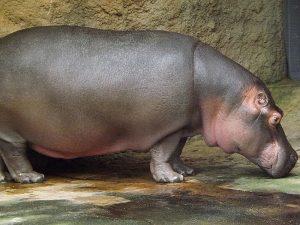 Flusspferd (Zoo Köln)