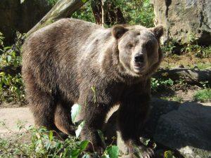 Grizzlybär (Zoo Decin)