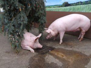 Hausschwein (Haustierfarm Connewitz)