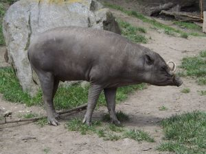 Hirscheber (Zoo Jihlava)
