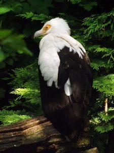 Palmgeier (Weltvogelpark Walsrode)