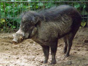Visayas-Pustelschwein (Zoo Berlin)