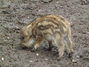 Wildschwein (Tierpark Hexentanzplatz, Thale)