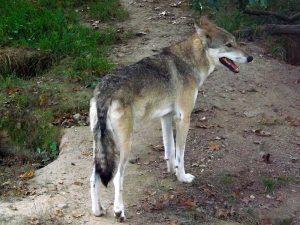 Wolf (Tierpark Hirschfeld)