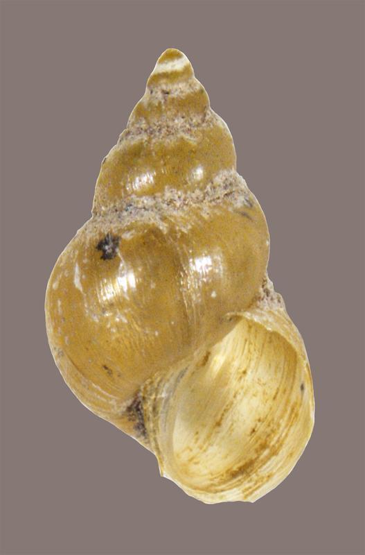 Galba cubensis (Senckenberg)
