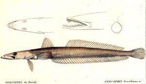 Percophis brasiliensis