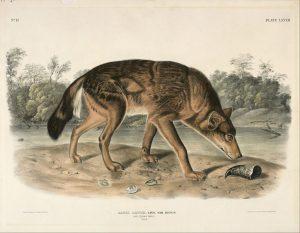 Rotwolf (John Audubon)