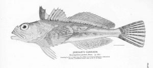 Scorpaenichthys marmoratus (Fisheries and Fishery Industries of the United States: Section I, Natural History of Useful Aquatic Animals)