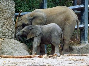 Afrikanischer Elefant (Zoo Wuppertal)