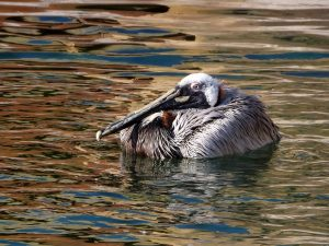 Braunpelikan (Vogelpark Marlow)