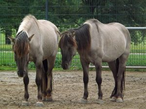 Dülmener Pferd (Wilhelma Stuttgart)