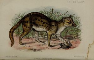 Fanaloka (Proceedings of the Zoological Society of London)