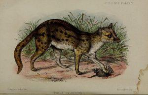 Fanaloka (Proceedings of the Zoological Society of London)
