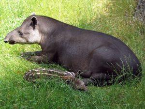 Flachlandtapir (Zoo Prag)