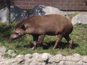 Flachlandtapir (Zoo Usti nad Labem)