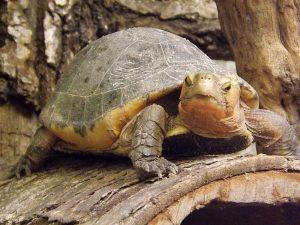 Gelbrand-Scharnierschildkröte (Tierpark Berlin)
