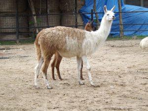 Lama (Zoo Hodonin)