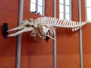 Nördlicher Entenwal (Deutsches Meeresmuseum)
