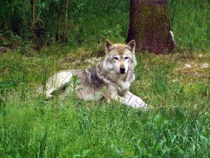 Wolf (Wildpark Lüneburger Heide)