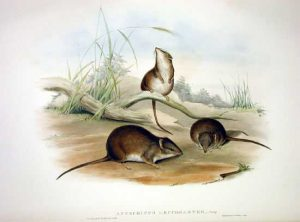 Gelbfußbeutelmaus (John Gould)