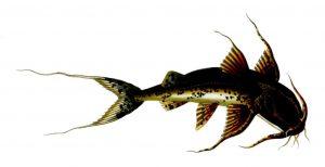 Bagarius yarrelli (J. Swaine)