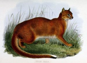 Borneo-Goldkatze (Zoological Society of London)