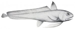 """Euclichthys polynemus (Fisheries : Zoological results of the fishing experiments carried out by F.I.S. """"Endeavor"""" 1909-10 under H.C. Dannevig)"""