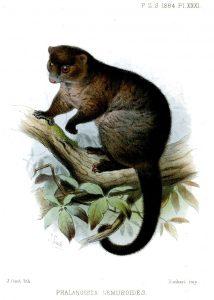 Lemuren-Ringbeutler (Joseph Smit)