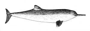 La-Plata-Delfin (Urheber mir unbekannt)