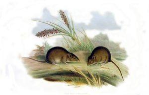Gould-Maus (John Gould)
