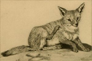 Kitfuchs ( The land and sea mammals of Middle America and the West Indies)