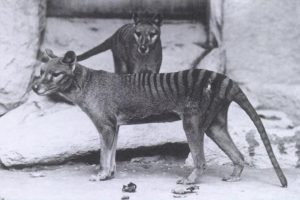 Beutelwolf (E. J. Keller Baker, Washington D.C. National Zoo, ca. 1904)