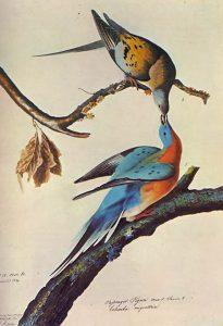 Wandertaube (John James Audubon)
