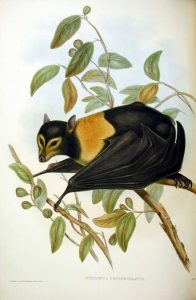 Brillenflughund (John Gould)