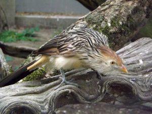 Guirakuckuck (Zoo Antwerpen)