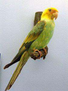 Karolinasittich (Zoologische Forschungsmuseum Alexander Koenig)
