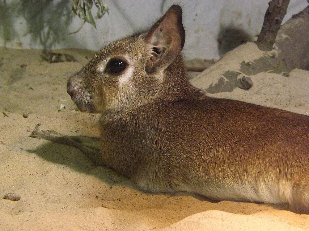 Kleiner Mara (Tierpark Berlin)