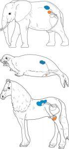 Position der Nieren (blau) und Hoden (orange) bei Elefant, Robbe und Pferd. (Lehmann & Eberhardt /Senckenberg)
