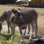 Zebra und Esel (Tiererlebnispark Müritz)