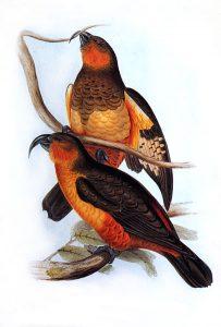 Dünnschnabelnestor (John Gould)