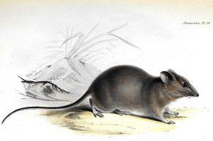 Galapagos-Schildreisratte