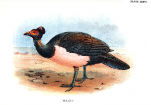 Hammerhuhn (William Robert Ogilvie-Grant