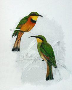 Zwergspint (Claude Gibney Finch-Davies)