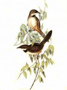 Braunbauch-Dickichtvogel (John Gould)