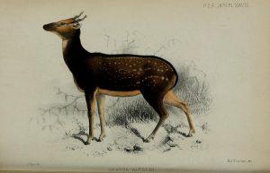 Prinz-Alfred-Hirsch, Illustration der Erstbeschreibung 1870 (Josepf Smit)