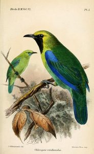 Blauflügel-Blattvogel (John Gerrard Keulemans)