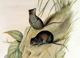 Zwergbeutelmaus (John Gould)