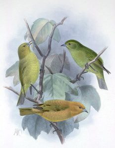 Maui-Akepakleidervogel (John Gerrard Keulemans)