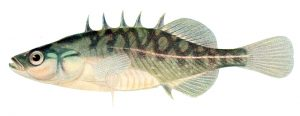Nordamerikanischer Bachstichling (The fishes of Illinois)