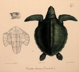 Oliv-Bastardschildkröte (Eduard Rüppell)